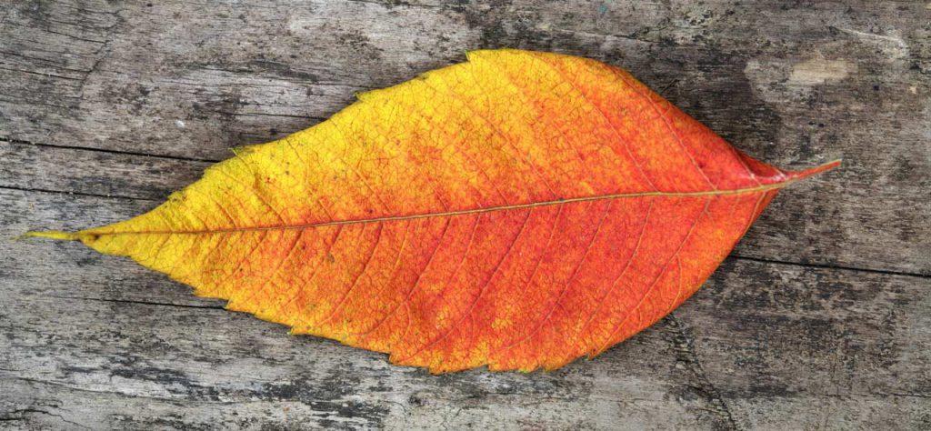Dry leaf on wood
