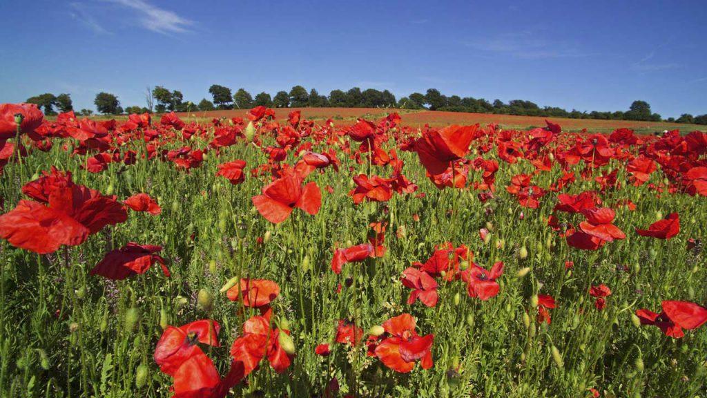 Healthy field of flowers