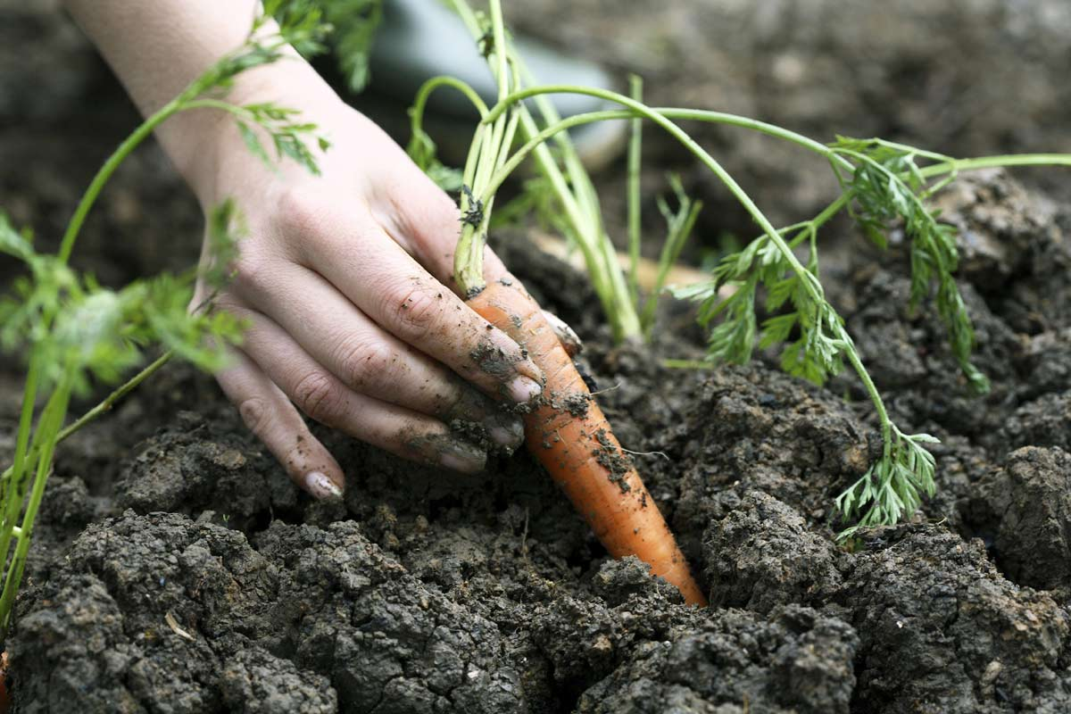 Hand planting carrots