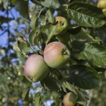 The Easiest Fruit Trees to Grow – The (Definitive) List