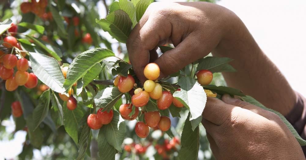 Cherries being picked