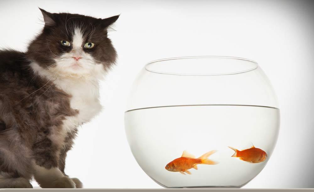 Cat at fish bowl