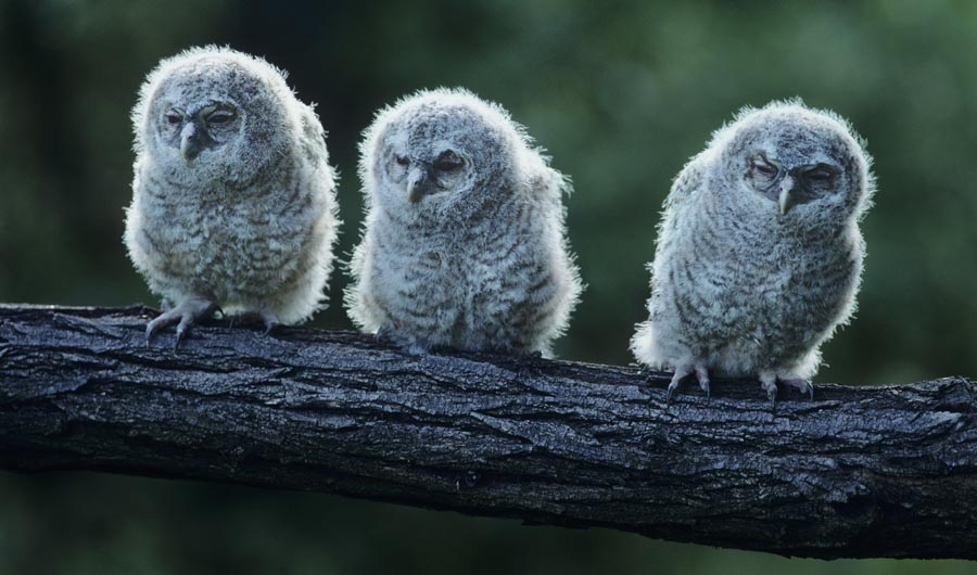 Baby owls on branch