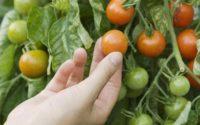 Fresh Tomatoes Growing