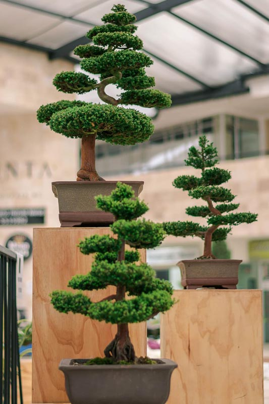 Three bonsai trees