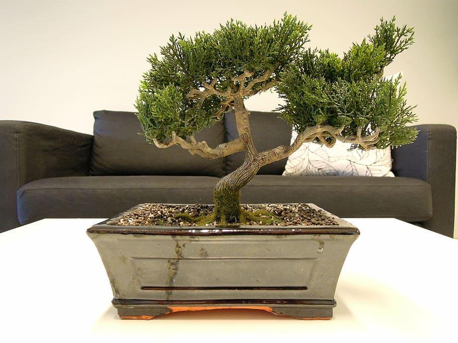 Bonsai tree indoors