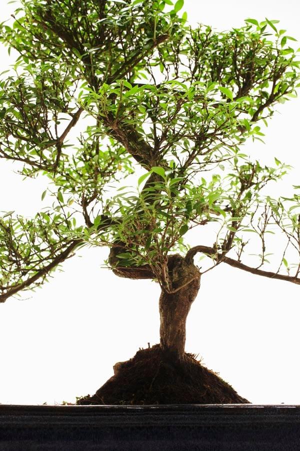 Close up of Bonsai tree