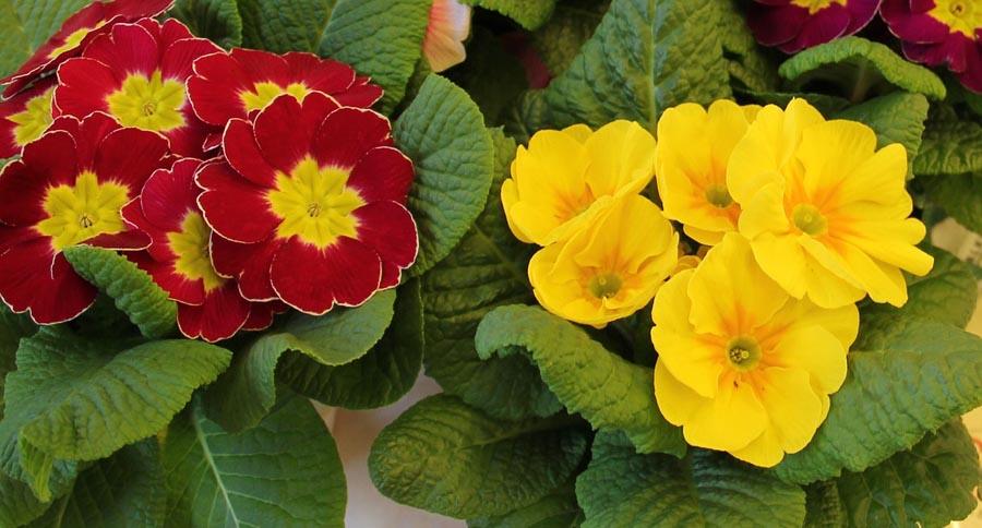 Primroses in bloom