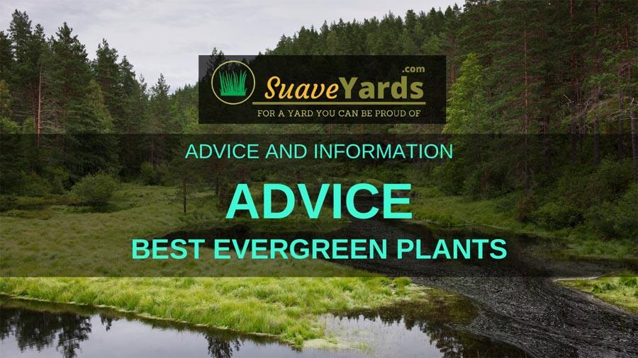 Best Evergreen Plants header