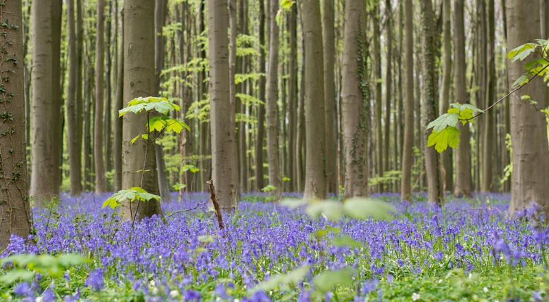 Hyacinths in forest