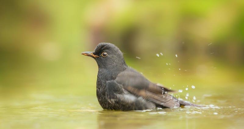 Bird bathing in water