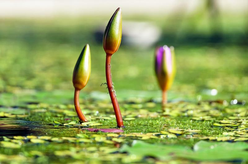 Buds on water surface