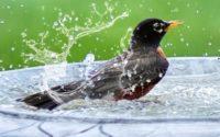 Bird in bird bath