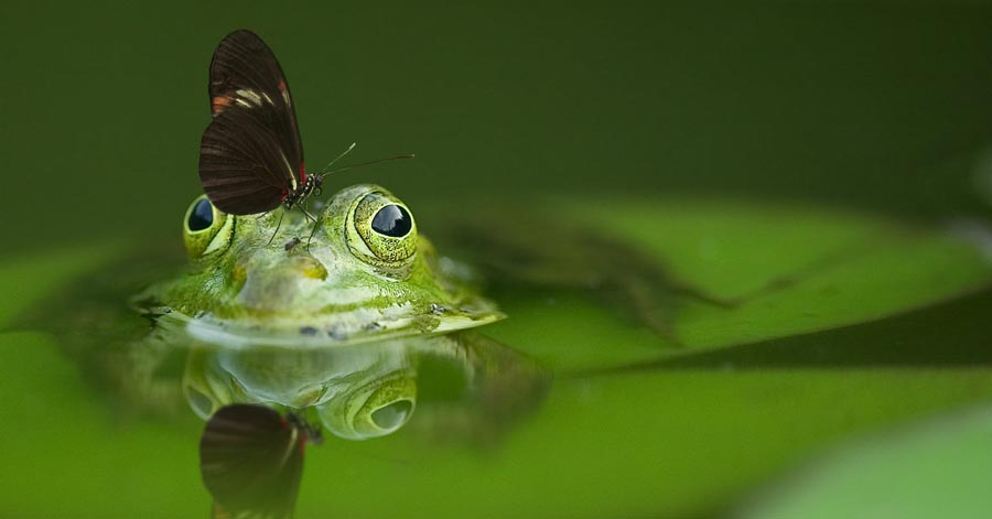 Frog in pond, with insect on head