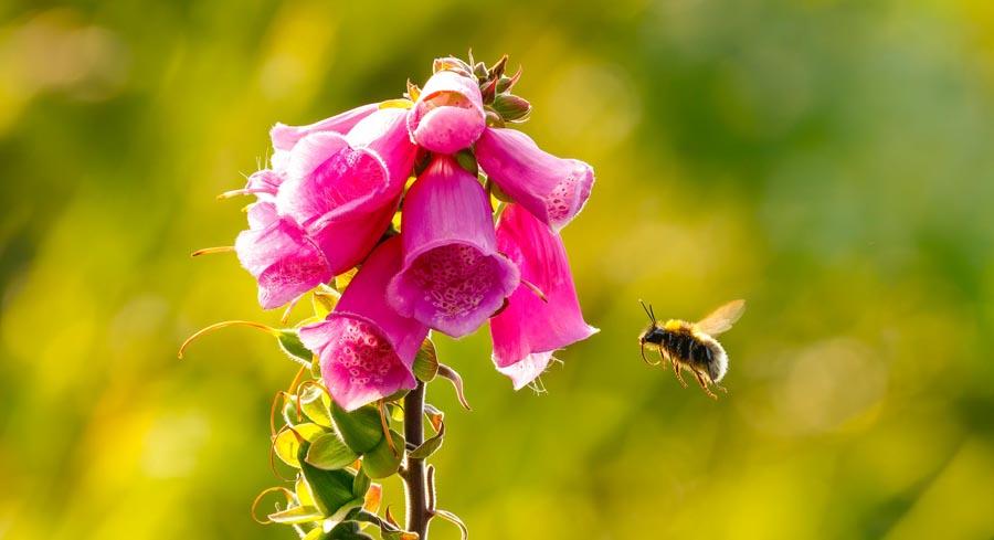 Bee near foxgloves