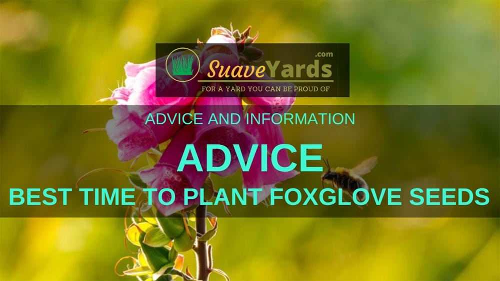 Best time to plant foxglove seeds