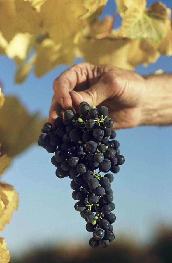 Man holding bunch of black grapes, Yarra Valley, Victoria Australia