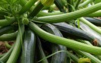 Zucchini growing