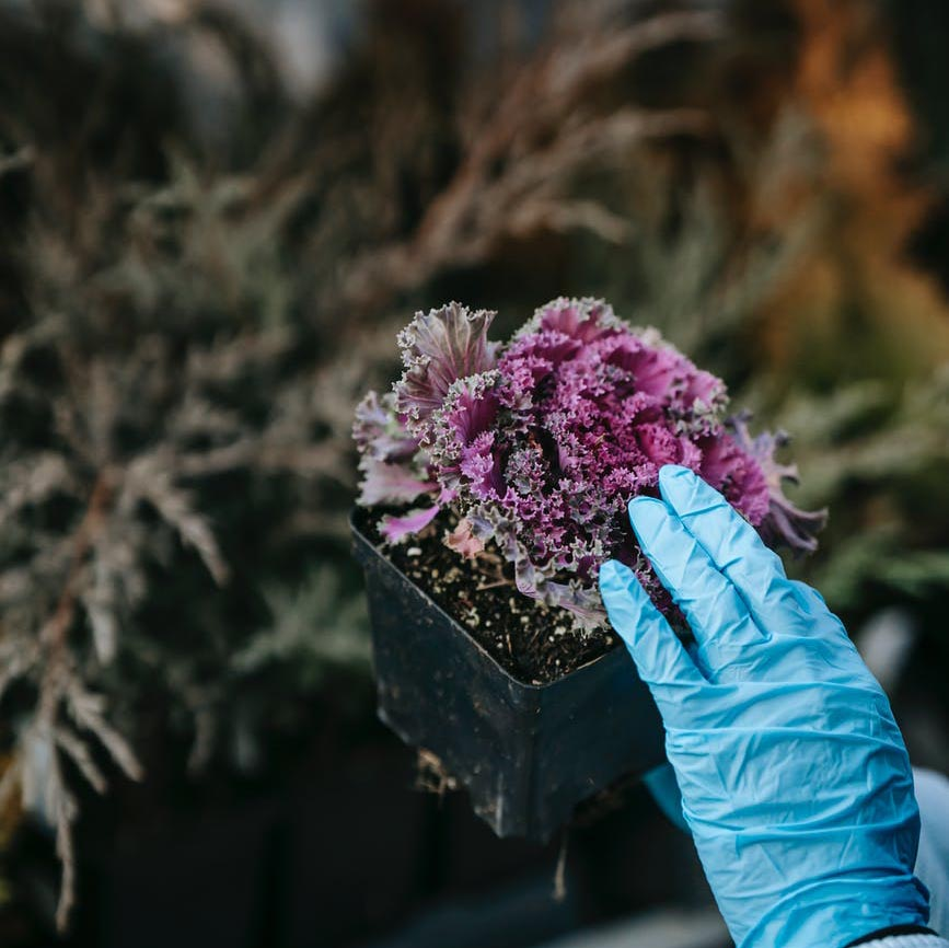 Person with glove touching kale