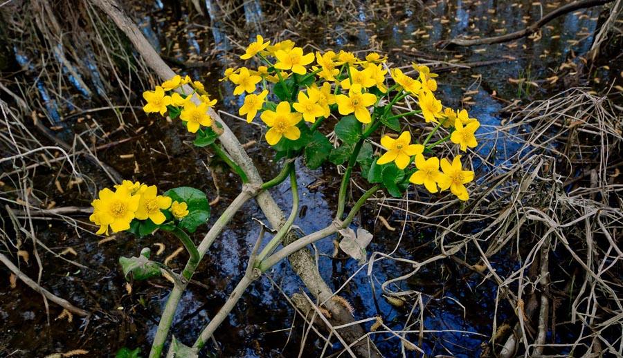 Buttercups in swamp