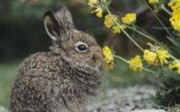 Rabbit sniffing flower