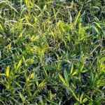 Watergrass
