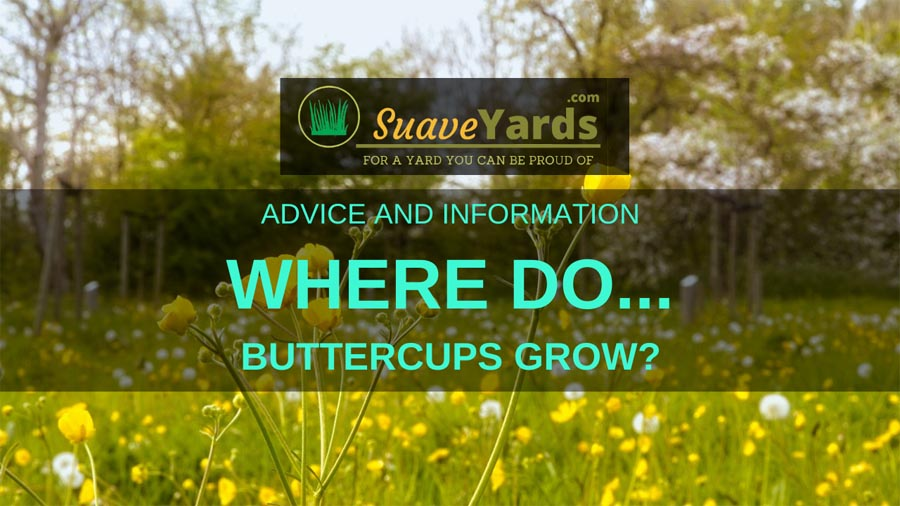 Where do buttercups grow