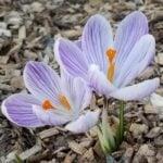 Flowers in mulch