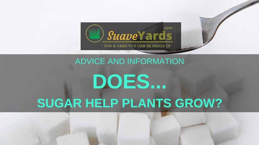 Does sugar help plants grow