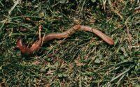 Earthworm in soil