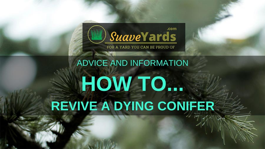 How to revive a dying conifer