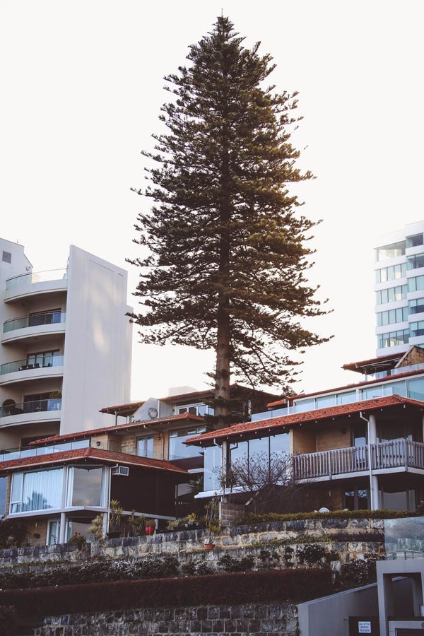 Pine tree in city